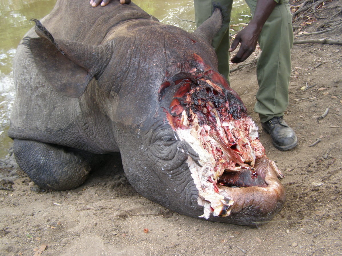 Indian River Lagoon Lessons: The Killing of the Black Rhino