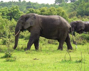 1280px-Elefant_Ghana